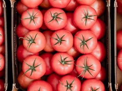 pomidor 101