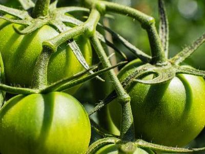pomidor 108