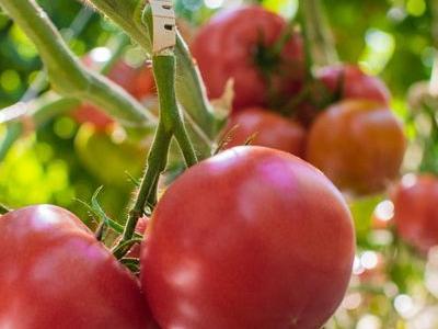 pomidor 13