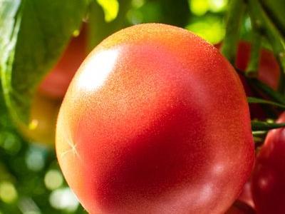 pomidor 22