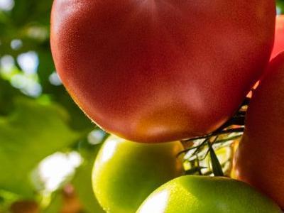 pomidor 23