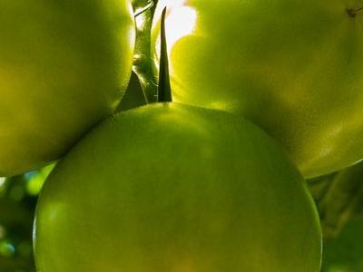 pomidor 25