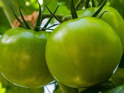 pomidor 27