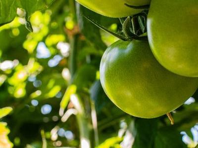pomidor 28