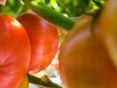 pomidor 30