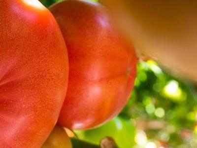 pomidor 31