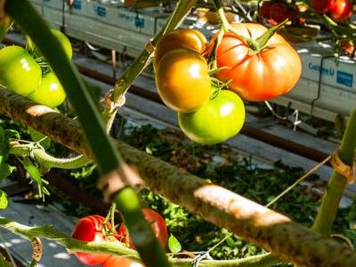 pomidor 32