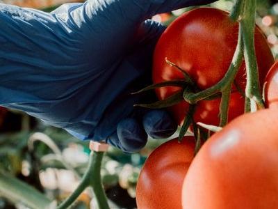 pomidor 33