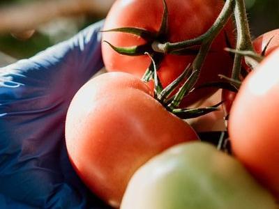 pomidor 34