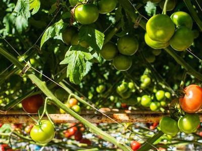 pomidor 35