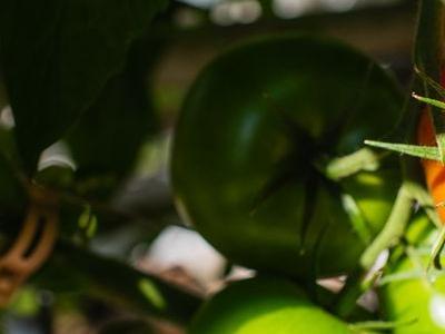 pomidor 57