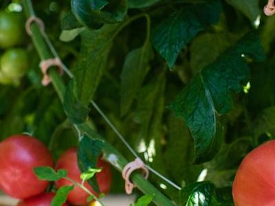 pomidor 58