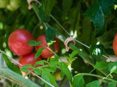 pomidor 59