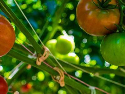 pomidor 61