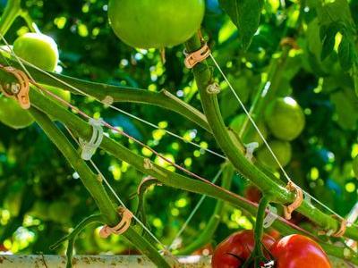 pomidor 63