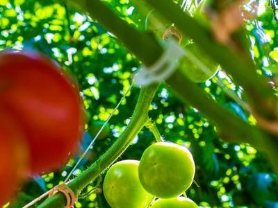 pomidor 64