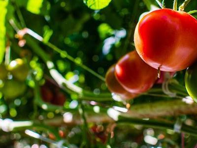 pomidor 65