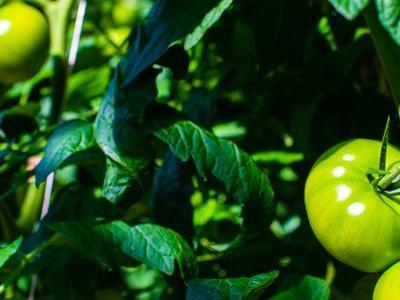pomidor 66