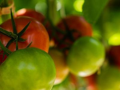 pomidor 76