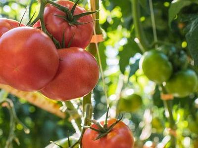 pomidor 9